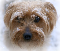 (lynne_b) Tags: winter dog pet snow cold yorkie face animal snowflakes canine terrier doginsnow creature yorkshireterrier toto familypet otw explored vosplusbellesphotos