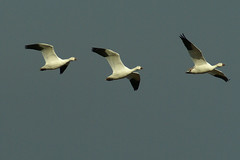 3 geese (esthercorley) Tags: snowgeese bosquedelapachenmnov2008