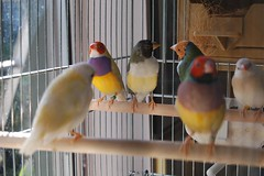 Gouldians are happy together (jungle mama) Tags: birdcage finches aviary rainbowfinch breedingfinches ladygouldian gouldianfinch erythruragouldiae chloebiagouldiae gouldianfinches breedingbirds babyfinches gouldsfinch breedin breedinggouldians aviarywindow raisingfinches kitchenaviary raisinggouldians babyfincheseyesclosed babyfincheswithpinfeathers finchwing redpurpleyellowfinch redpurpleandyellowgouldian