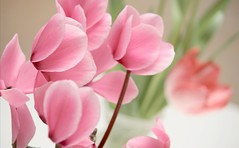 cyclamen (papadont) Tags: japan tulip toyama cyclamen soe picnik tonami   flickrsbest platinumphoto  colourartaward