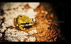 anura{amphibia} (isayx3) Tags: macro nikon ray flash frog ring 28105mmf3545d nikkor d3 ringflash 28105 28105mm anura amphibia rayring vosplusbellesphotos