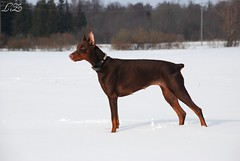 Legrant Land Campary Flox (Liisaz88) Tags: nikon estonia chocolate junior land brow dobermann flox campary legrant