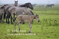 _LL13403 (Lothar Lenz) Tags: horse caballo cheval nationalpark bein cavalo pferd hest equus niederlande paard hst oostvaardersplassen fohlen konik verletzung hestur lahm konj hobu zirgs lahmheit beweidung fotolotharlenz beweidungsprojekt