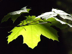Marple leaf (Ylva Budsjö - on and off) Tags: nature leaf bog marple