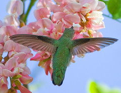 ANNA'S (sea25bill) Tags: california flowers blue sky usa color green bird nature annashummingbird calypteanna