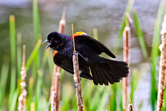 Male Red-winged Blackbird.