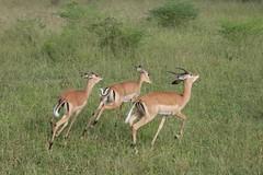Impalas on the run (peggyhr) Tags: africa wildlife zambia thebigone impalas luangwavalley peggyhr ilovemypic