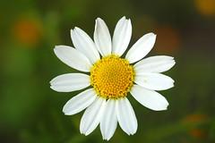 Anthemis (David Lev) Tags: plants flower wildflower naturesfinest westernnegev supershot flickrelite brillianteyejewel goldstaraward eshkolpark