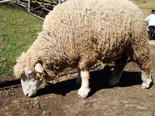 fat sheep