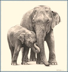'Jumbo Family' - Asian Elephants - Fine Art Pencil Drawings  www.drawntonature.co.uk (kjhayler) Tags: pictures wild portrait baby elephant art pencil portraits asian photo artwork photos drawing indian young picture drawings elephants srilanka calf herd jumbo herds asianelephant animalart wildanimals jumbos elephantfamily babyelephant animalprints elephantorphanage indianelephant pencildrawings wildlifeimages drawingpictures animalpictures wildlifeart babyelephants animalscats herdofelephants wildlifephotography pinnawala indianelephants wildlifephotos asianelephants animalphotos elephantart elephanttrunks animaldrawings wildlifeartists elphants naturepictures elephantcalf theelephant wildelephants pinnawalaelephantorphanage elephantpictures wildlifeportraits wildpictures animalspictures openedition elephantpicture picturesofelephants elephantphotos wildlifeartist wildlifedrawings drawingphotographs kevinhayler photosofelephants herdsofelephants elephantherds pictureselephants photoselephants elephantphoto motherandbabyelephant