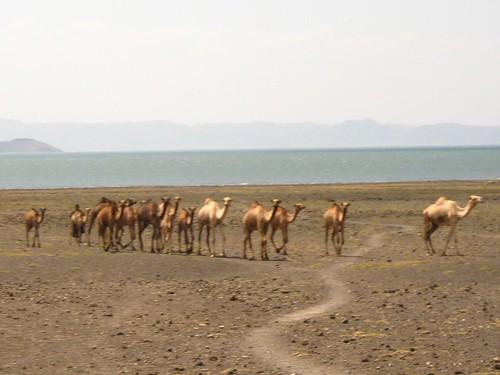 turkana camels