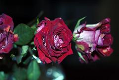 يا ورد يا مهديني الورد (aZ-Saudi) Tags: red green love rose leaf arabic saudi arabia ksa mywinners arabin ِarabs