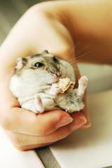 Never stuff (EricFlickr) Tags: pet pets cute animal animals taiwan hamster hammy indiehalloffame