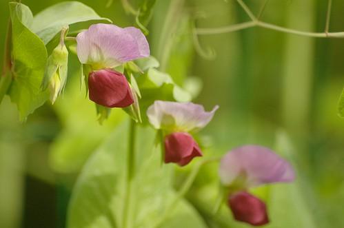 Pisum sativum - Erwten, Peas