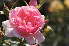 Rose 2008 (Yukumizu) Tags: tamronspaf90mmf28dimacro