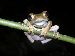 Boophis cf brachychir, Forêt d'Ambre, Madagascar (Arthur Anker) Tags: macro nature amphibian frog madagascar herps anura amphibia boophis