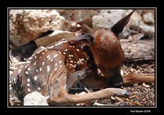 Newborn !! (Paul_Wheeler) Tags: nature closeup nikon bravo young deer fawn whitetaileddeer d300 naturesfinest fpg mywinners platinumphoto anawesomeshot impressedbeauty ysplix natureselegantshots