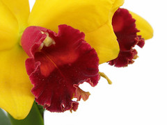O.r.c.h.i.d (✿ Graça Vargas ✿) Tags: orchid explore cattleya whiteground orquídea interestingness468 i500 graçavargas ©2008graçavargasallrightsreserved 61616281211