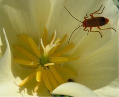 Visitors (La Salvadega) Tags: flower bug garden californianpoppy amazingamateur