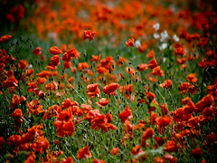 You'll remember me, when the west wind moves, among the fields of....poppies? (jonoakley) Tags: red summer hot flower field grass canon eos north east heat poppy poppies 400d colorphotoaward