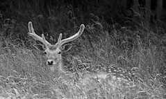 young buck (stumayhew) Tags: uk wild summer england nature animal canon kent stag deer antlers 5d fallowdeer buck lseries knowle 70200mmis28