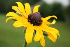 IMG_1296.JPG (ndrake) Tags: flower blackeyedsusan