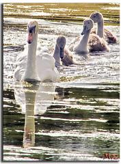 Little family (Muzammil (Moz)) Tags: lake ducklings horseshoelake familymarch muzammilhussain