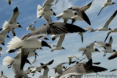 Seagulls on the Texas Coast (Steve Hopson) Tags: statepark travel blue usa seagulls fish gulfofmexico nature water birds geotagged bay coast us fisherman marine texas gulls crab science explore research coastal license catfish thebirds seafood environment marinebiology hitchcock aquatic trout biology waterway saltwater grouper naturephotography stateparks angler aflockofseagulls dickenson fisheries texasstatepark travelphotography travelphotos texasparksandwildlifedepartment stevehopson interestingness29 texasstateparks texasparksandwildlife i500 lookdownfish tpwd inthethickofit intercoastalcanal 1450views environmentalresearch 22favorites photocontesttnc08 aseagullexplosion hurricaneike