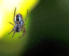 All things bright and beautiful... (Flailinginge) Tags: macro spiders insects bugs smrgsbord potofgold
