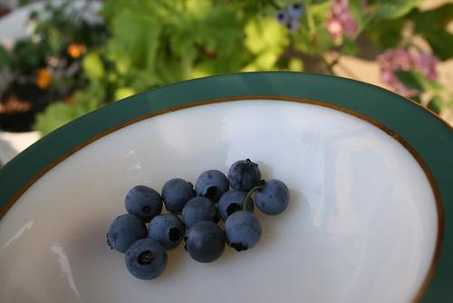 Blueberry 収穫
