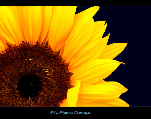 2703525051 b2b2e963a8 Sunflower Pictures : 5 HQ Pictures of sunflower  Clear Features of flowers