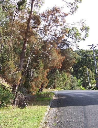 Casuarina tree Veron Road Umina