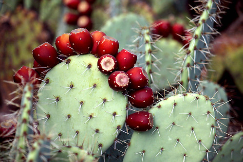 Prickly Pear Fruit, So Ripe! by cobalt123.