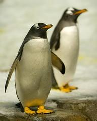 PINGUINO IMPERATORE (peo pea) Tags: animals montreal biodome pinguino imperatore naturalmente antartide peopea masterpiecesoflightdark