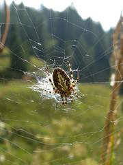 Ragno al sole (Teone!) Tags: mountain spider cobweb montagna soe araignée araneusdiadematus ragno naturesfinest ragnatela bej chicècè topmacro