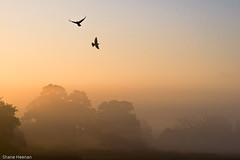 flying high (landofshane) Tags: morning autumn mist bird fog sunrise fly pigeon dove warmth clear crisp soar