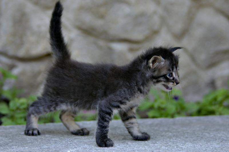 pisicol