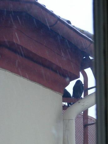 Kråkor
