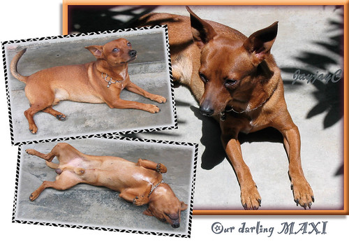 Photo collage of Maxi, our 4 year-old miniature pinscher