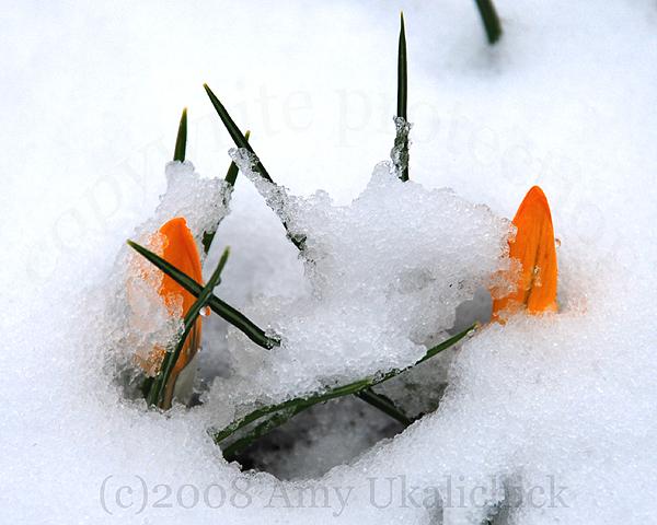 yellow-crocuses-in-the-snow
