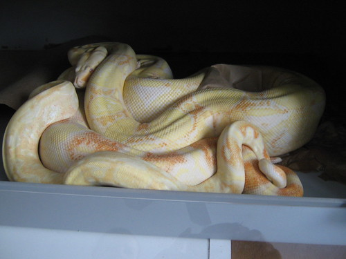 Albino Boas Breeding