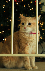 Diva Dior (wishymom (Stephanie Wallace Photography)) Tags: christmas portrait pet cat framed kitty pfogold