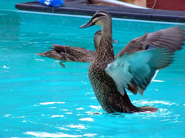 two pacific black ducks