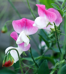 IMG_4583 Crop cp (Franie Frou Frou) Tags: pink flowers white sweetpea