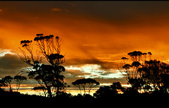 Eucalyptus silhouettes - Tasmania (kryyslee) Tags: world pictures voyage travel sunset orange color colors silhouette clouds canon fire photography eos bay coast soleil photo foto photos couleurs picture coucher silhouettes du east tasmania around eucalyptus christophe monde nuages 2008 backpacker autour couleur 50d tasmanie 400d kryyslee christophepaquignon paquignon tasmaniaeastcoast