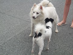 Happy and Spot (jumpyfrog0506) Tags: dog white black cute male happy fluffy spot american chihauhau eskimo