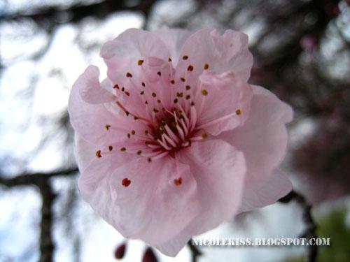pretty sakura
