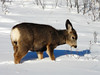 At home in the snow (annkelliott) Tags: winter snow canada calgary nature animal mammal lumix seasons deer explore alberta wildanimal muledeer fishcreekpark interestingness225 annkelliott bebogrove fz18 panasonicdmcfz18 vosplusbellesphotos p1420917fz18 explore2008december26