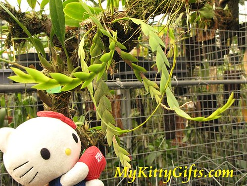 Hello Kitty Watching Curly-form Orchids in Orchid Trip Hong Kong