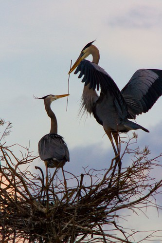 Great Blue Heron Pair #1